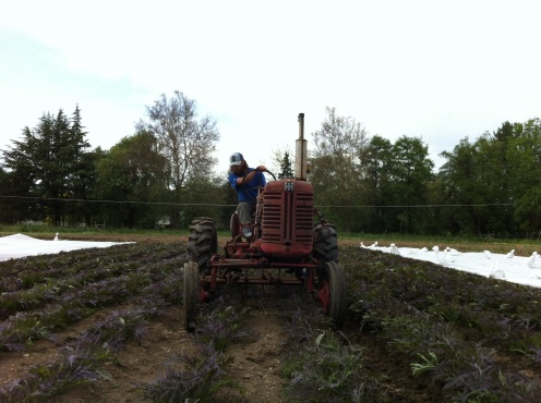 Stephen cultivating the brassicas on May 6th