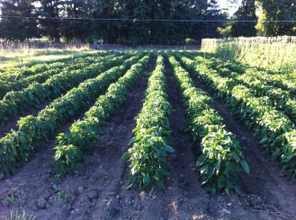 Sweet Peppers for seed