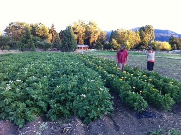Kelly and Stephen checking the first blooms on the Yellow Zinnia seed crop.