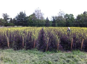 B. juncea seed crop