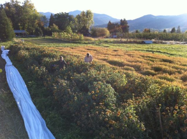 Kelly and Scott picking the last of the Zinna seed crop