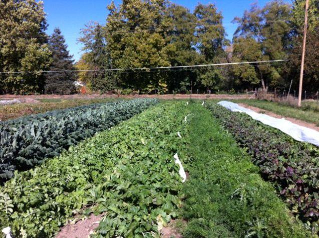 Winter patch #2: (L-R) Cabbage, broccoli, escarole, diakon, turnip, carrot and beet
