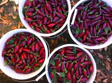 Hot peppers ready for seed processing
