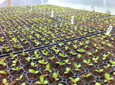 Greenhouse lettuce off to a good start